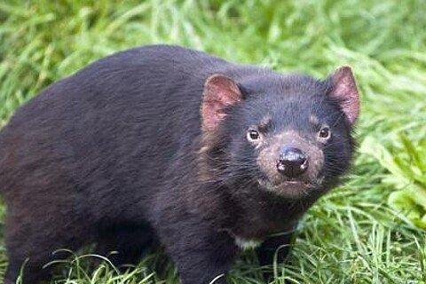 Magazin Australien Tasmanischer Teufel