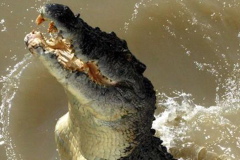 Magazin Studium Australien Krokodil