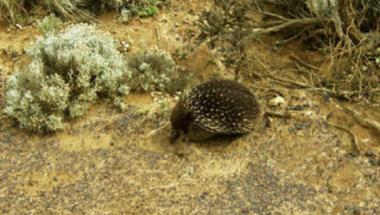 Magazinbeitrag australischer Schnabeligel