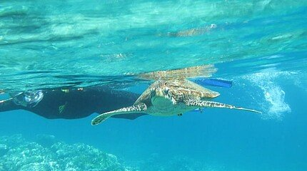 Schildkröte in Australien