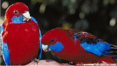 Rosellas sind farbenprächtigsten Papageien der Welt