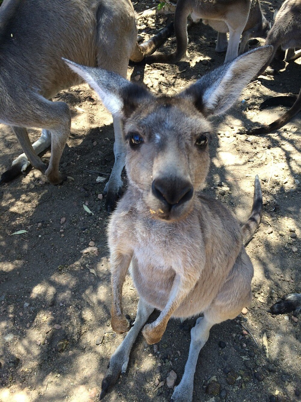 Känguru in Australien