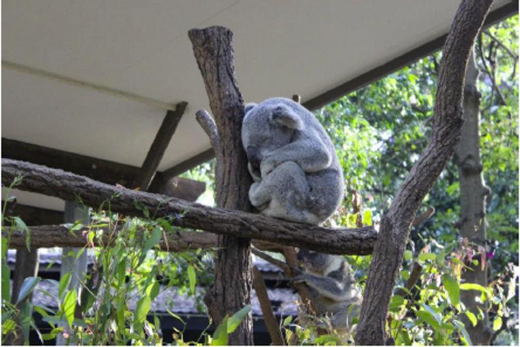 Schlafender Koala im Lone Pine Koala Sanctuary in Brisbane