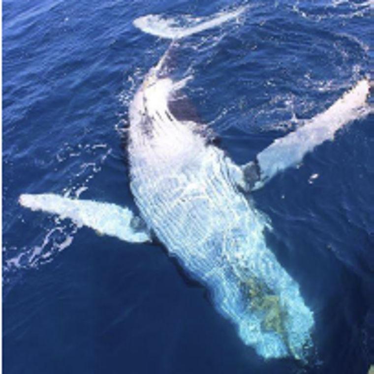 Whale Watching Cruise - Ein Buckelwal zeigt sich von seiner Schokoladenseite
