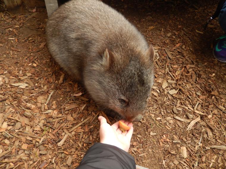 Wombat in Tasmania knuddeln - Auslandssemester Australien