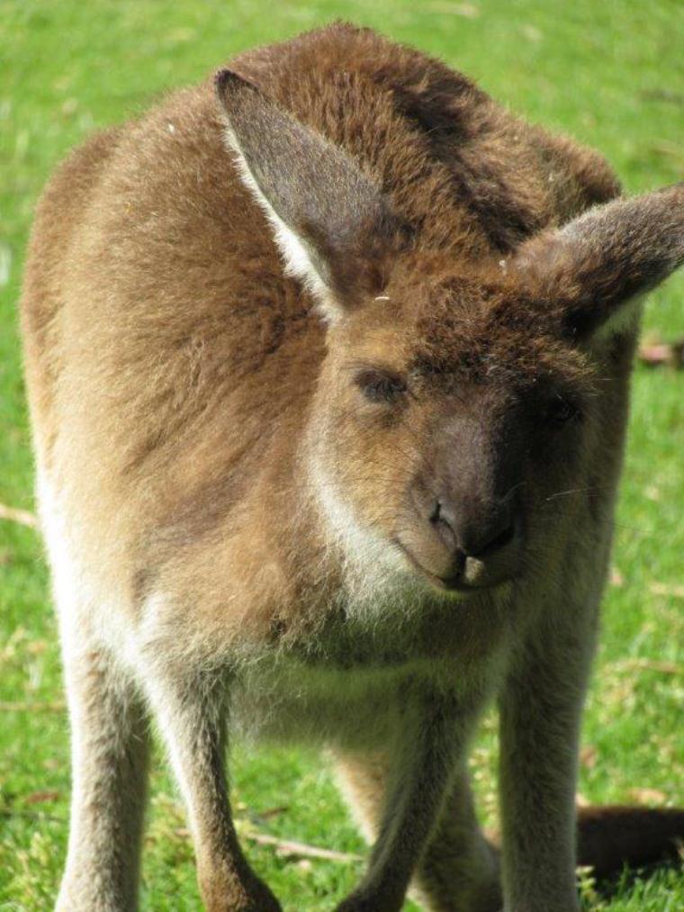Känguruh - Auslandssemester Australien