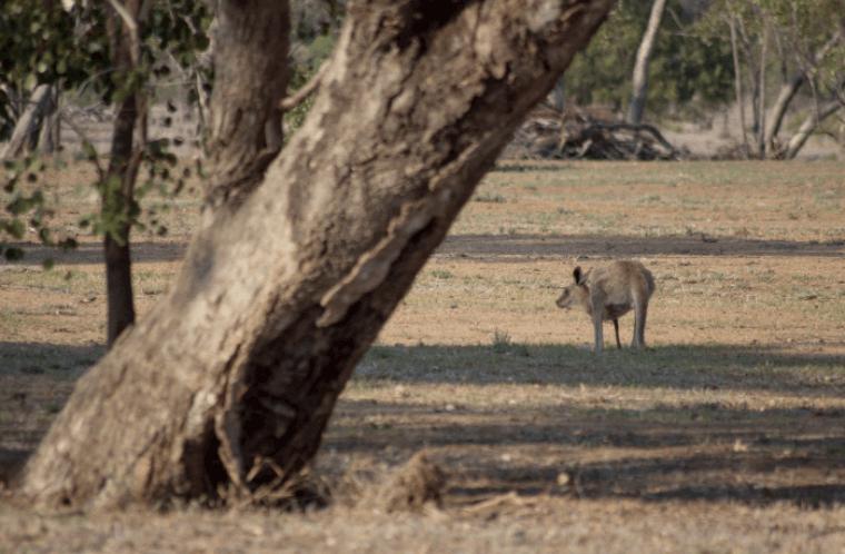 Känguruh Outback - Auslandssemester Australien