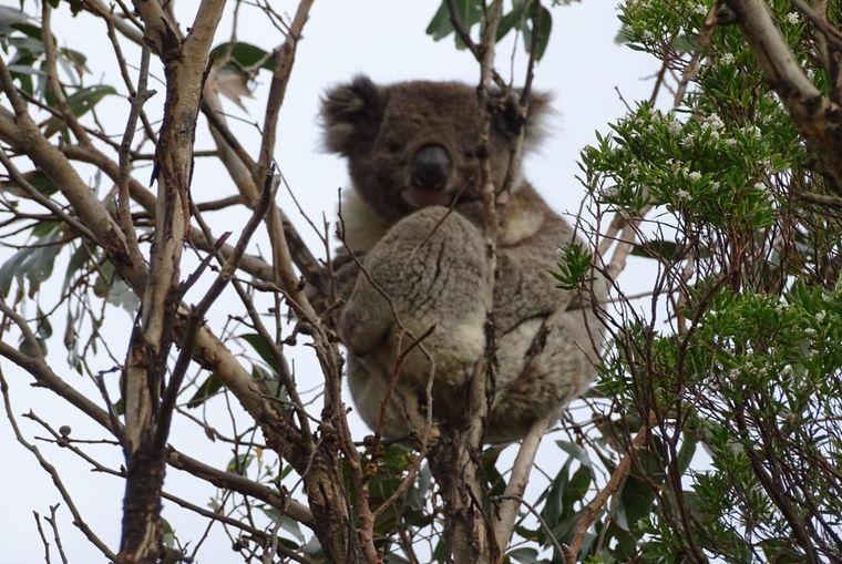 LLM in Australien