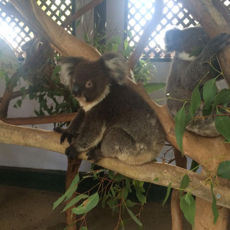 Koalas in ihrer natürlichen Umgebung
