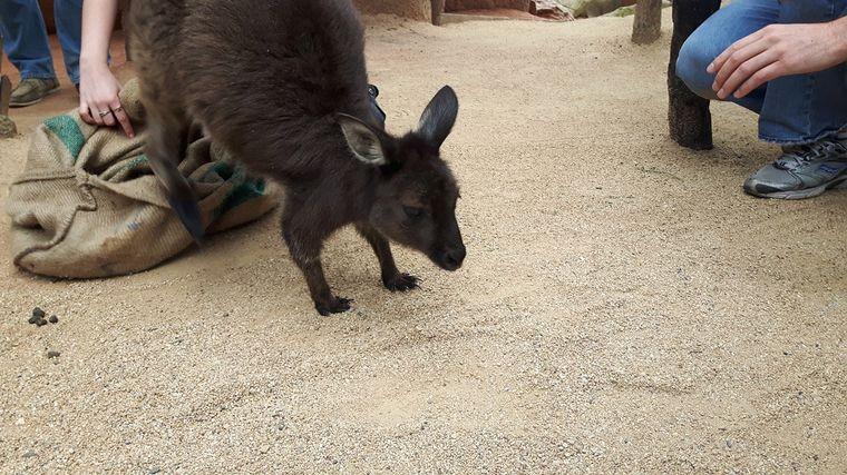 Känguru im Zoo