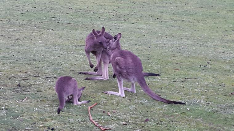 Kangaroos Australien