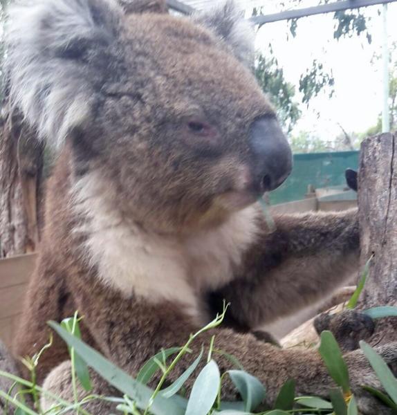 Koala in der Nähe von Melbourne