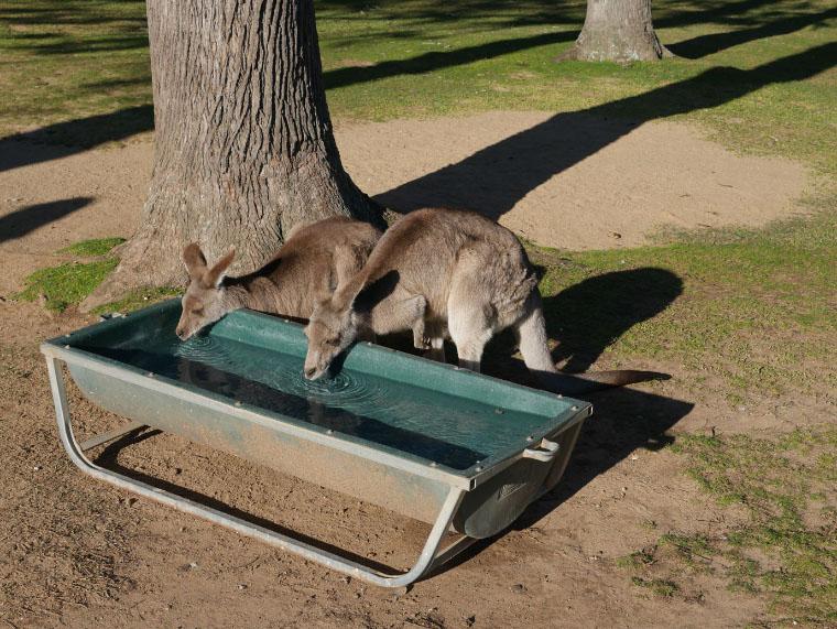 Känguruhs im Zoo