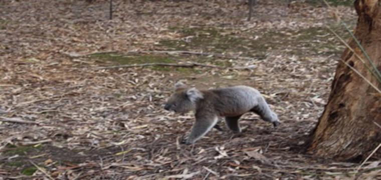 Erfahrungsbericht Optensteinen Australien Koala