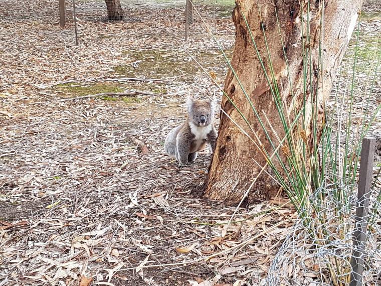 Erfahrungsbericht Overoedder Koala in freier Wildbahn